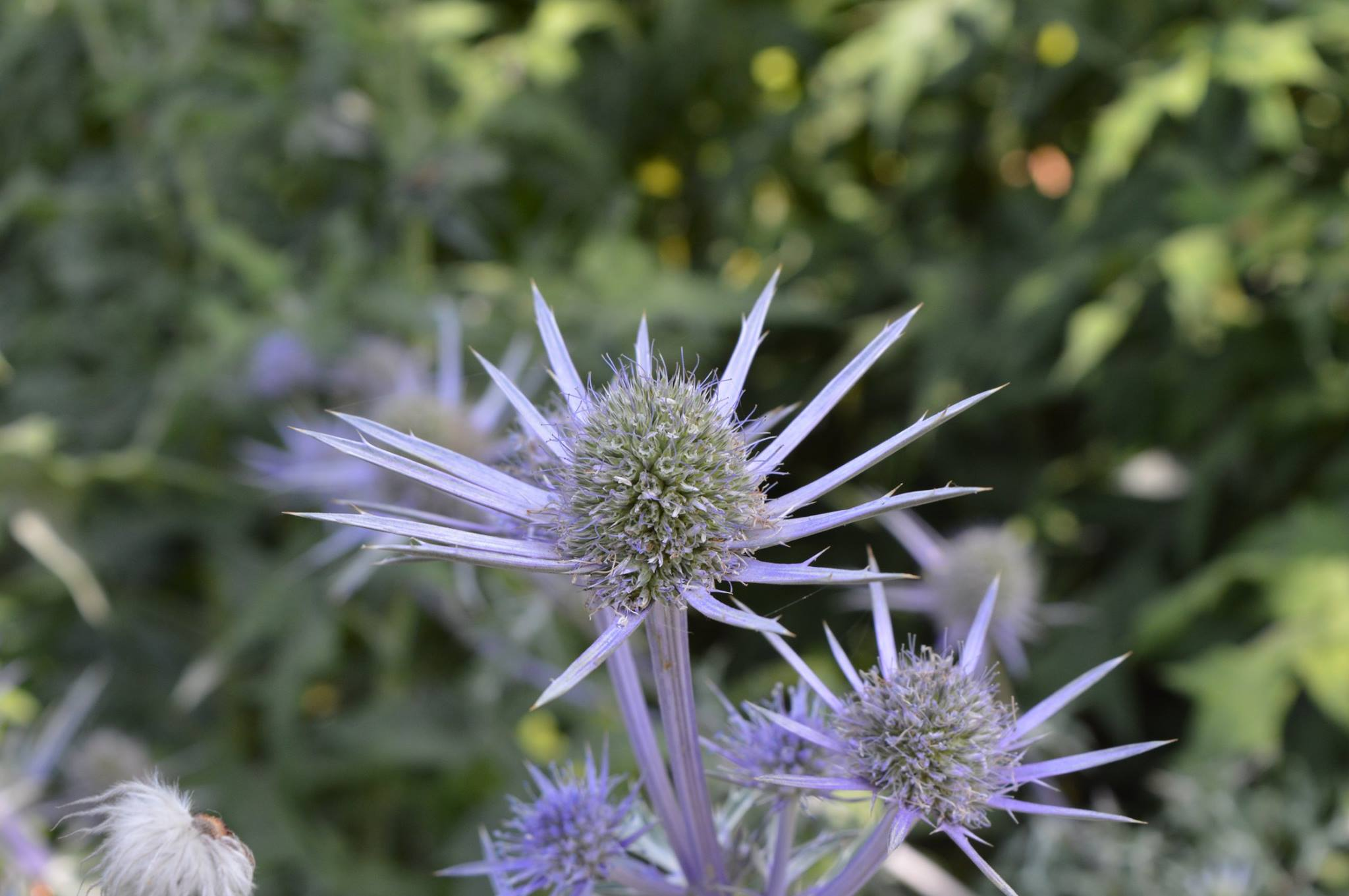 Van-dusen-sea-holly